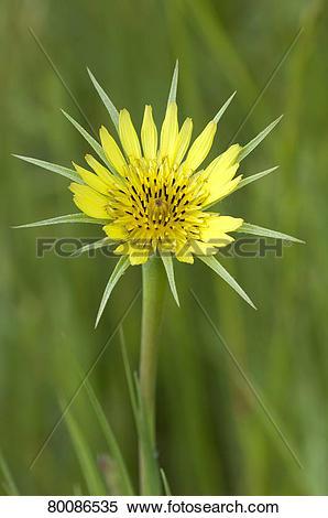Stock Image of DEU, 2011: Meadow Salsify (Tragopogon pratensis.