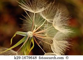 Seed dispersal Stock Photo Images. 418 seed dispersal royalty free.