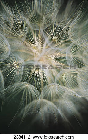 Stock Photo of Salsify (Tragopogon) with it's showy seed head.