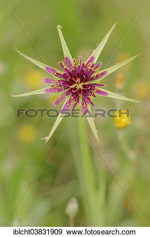 "Stock Photograph of ""Purple Salsify or Goatsbeard (Tragopogon."