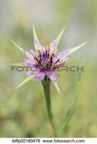 """Stock Images of """"Purple Salsify (Tragopogon porrifolius), close."""