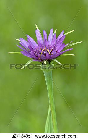 Stock Photography of Purple salsify (Tragopogon porrifolius) at.