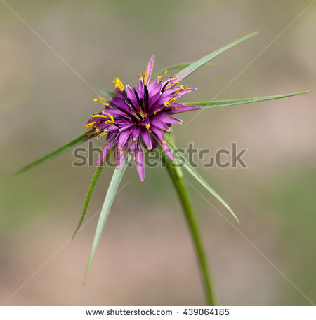 tragopogon Stock Photos, Royalty.