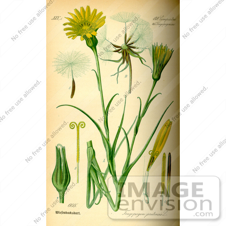 Picture of Meadow Salsify, Showy Goats Beard, Jack.