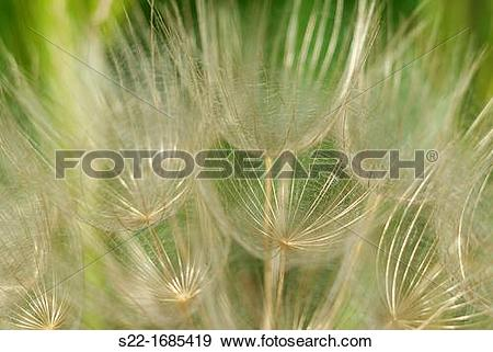 Stock Photograph of Tragopogon pratensis, Meadow Salsify, Cabruna.