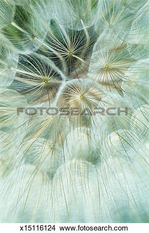 Stock Photo of Meadow Salsify (Tragopogon pratensis), detail.