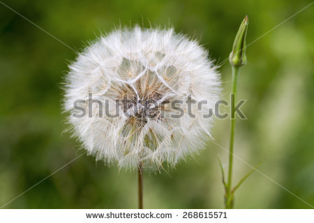 Meadow Salsify Stock Photos, Royalty.