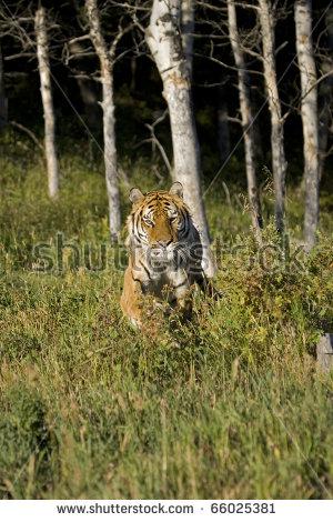 Tiger Running Stock Photos, Royalty.