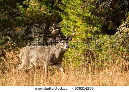 Whitetail Deer Stock Photos, Royalty.