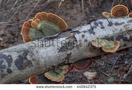 Trametes Versicolor Stock Photos, Royalty.