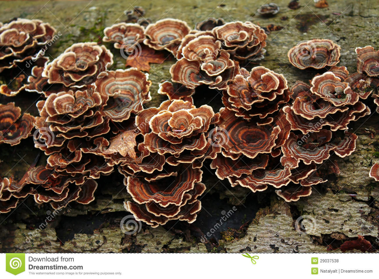 Trametes Versicolor Royalty Free Stock Photos.