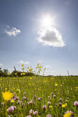 Stock Photo of Tranquil field of blooming buttercups 27264.