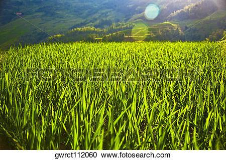 Stock Photography of Rice paddy in a field, Jinkeng Terraced Field.