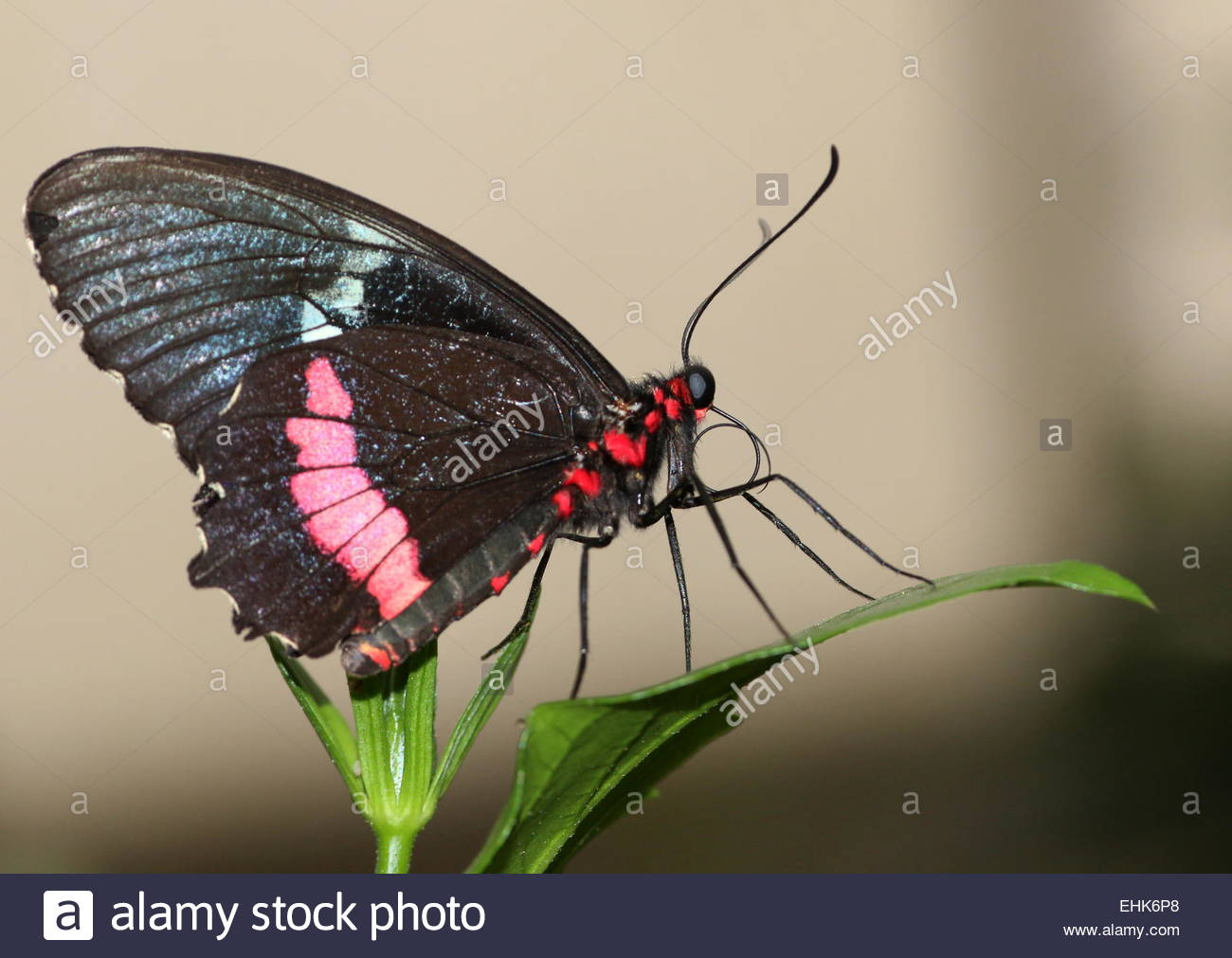 New World Pink Cattleheart Or Transandean Cattleheart Butterfly.