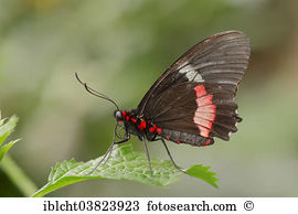 Cattleheart butterfly Images and Stock Photos. 35 cattleheart.