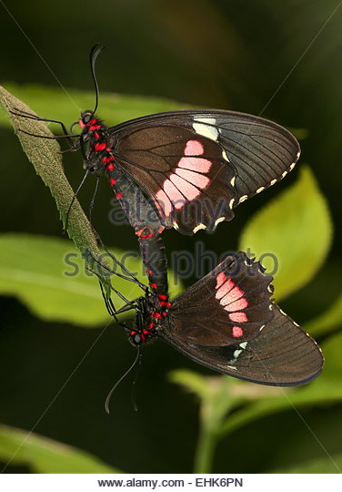 Cattle Heart Butterfly Stock Photos & Cattle Heart Butterfly Stock.