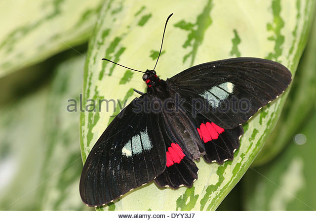 Cattleheart Butterfly Stock Photos & Cattleheart Butterfly Stock.