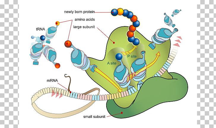 Translation Messenger RNA Transcription Protein biosynthesis.