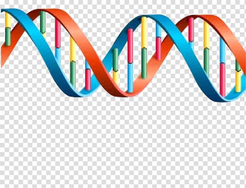 DNA Genetics Transcription Gene expression, dna gene.