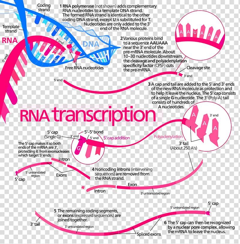Transcription Protein biosynthesis DNA RNA Translation, step.