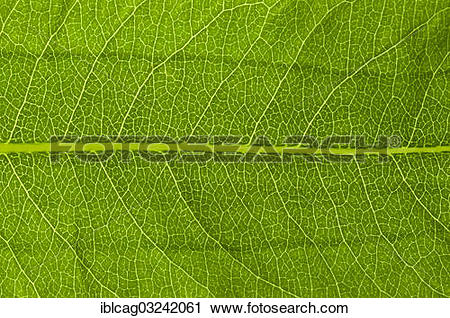 """Stock Photography of """"Leaf structure of a Bistort (Bistorta."""