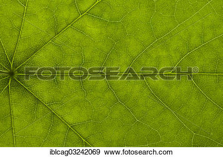 """Stock Photograph of """"Leaf structure of a Maple (Acer) in."""