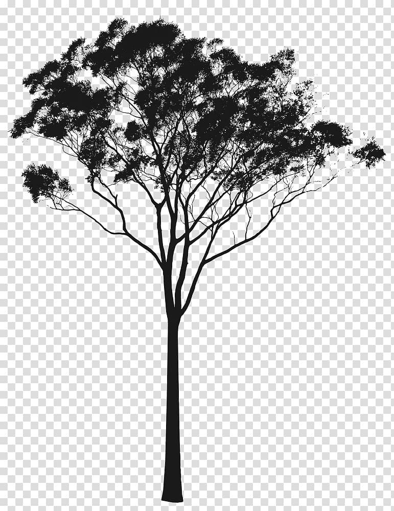 Black tree illustration, Eucalyptus camaldulensis Eucalyptus.