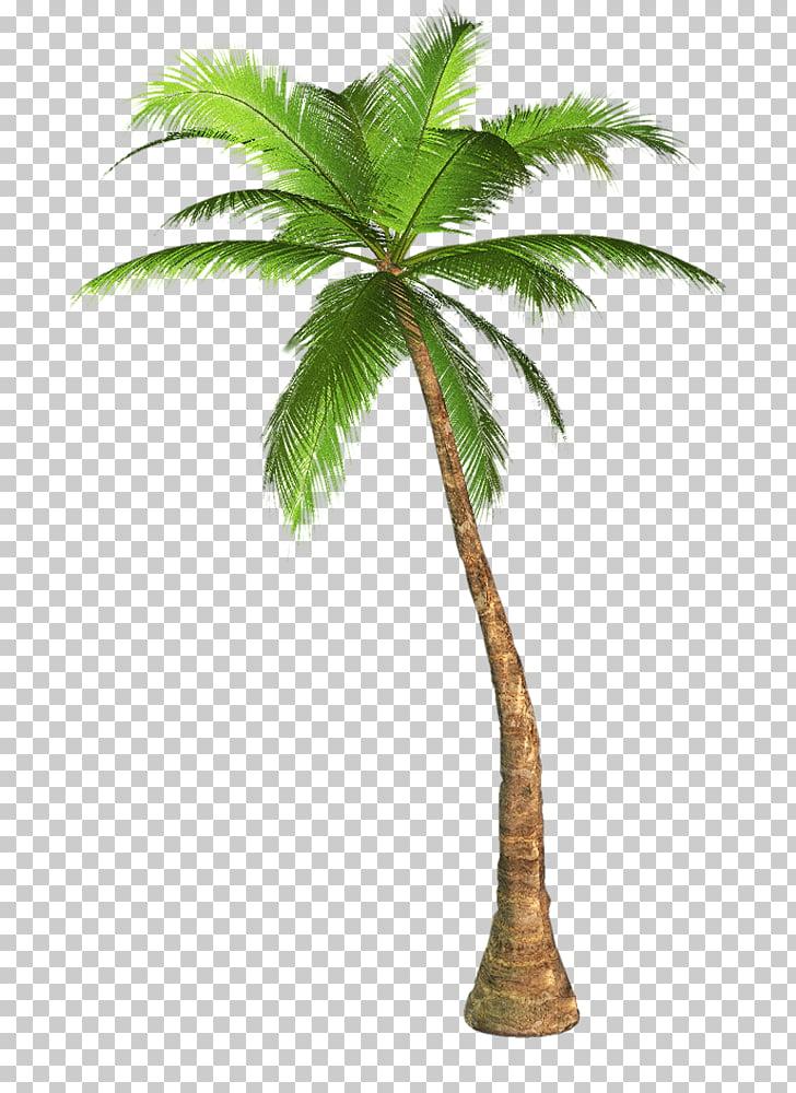 Arecaceae Tree , Palm Tree Transparent Background , coconut.