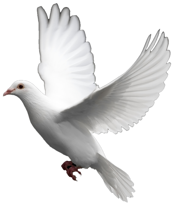 Domestic pigeon Columbidae Bird Clip art.