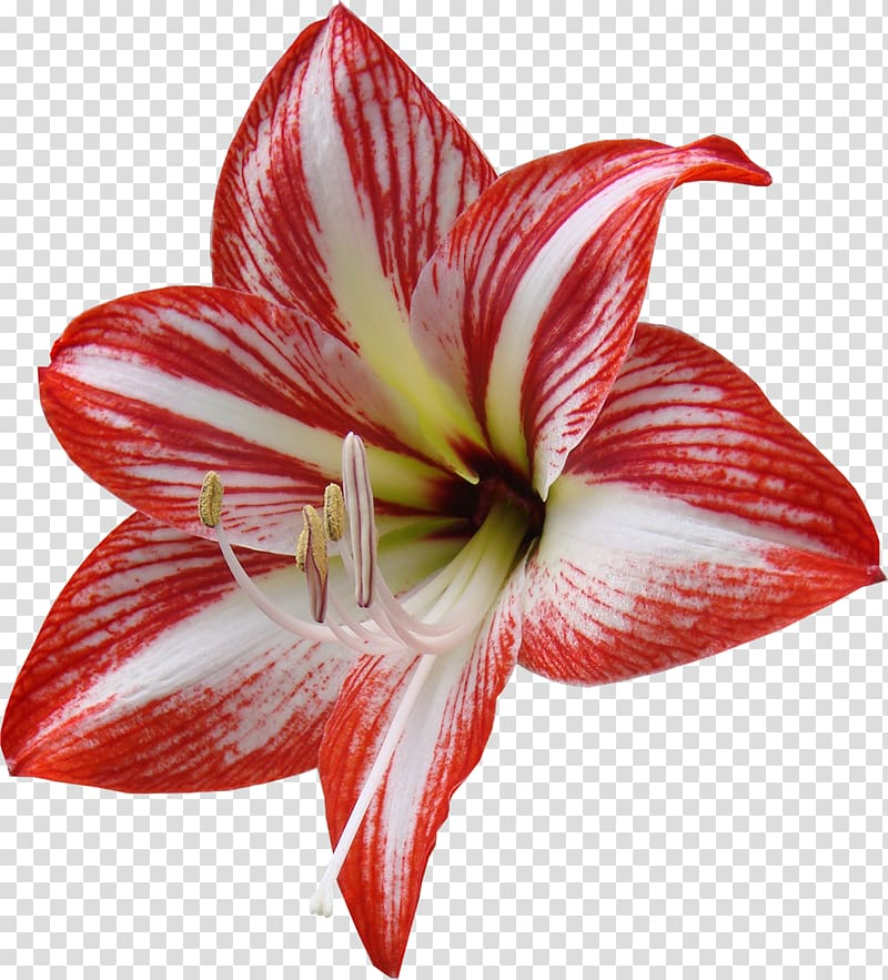 Cut flowers Red Lilium Yellow, lily transparent background.