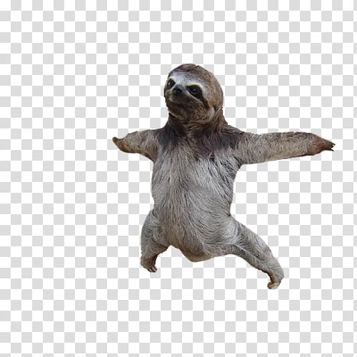Adopt a Sloth Baby Sloths , sloth transparent background PNG.