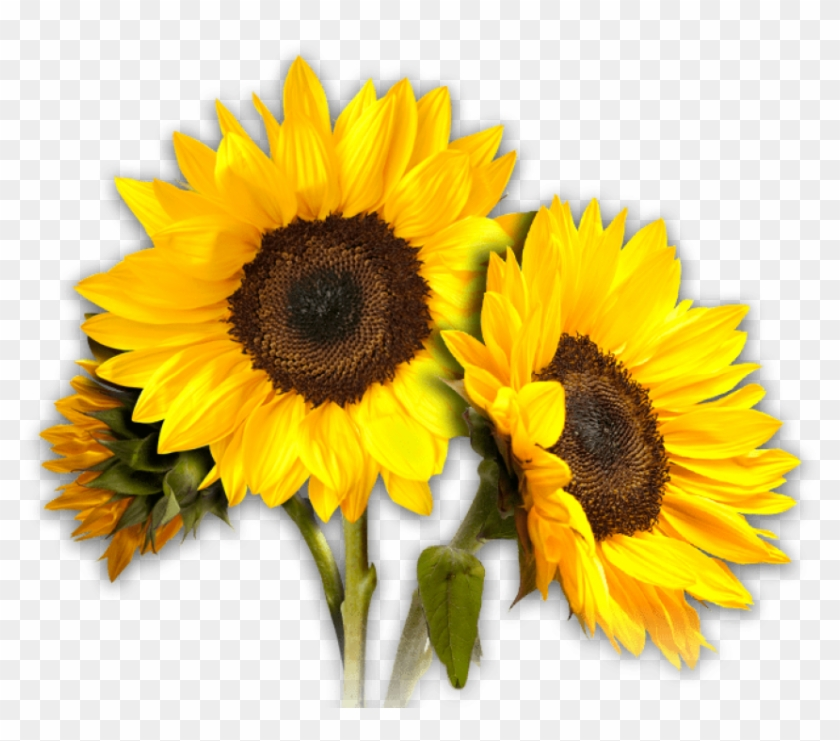 Free Png Sunflower Png Images Transparent.