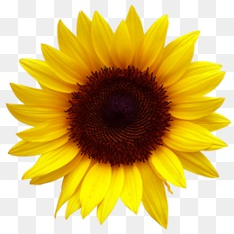 Sunflower Transparent Background & Free Sunflower.
