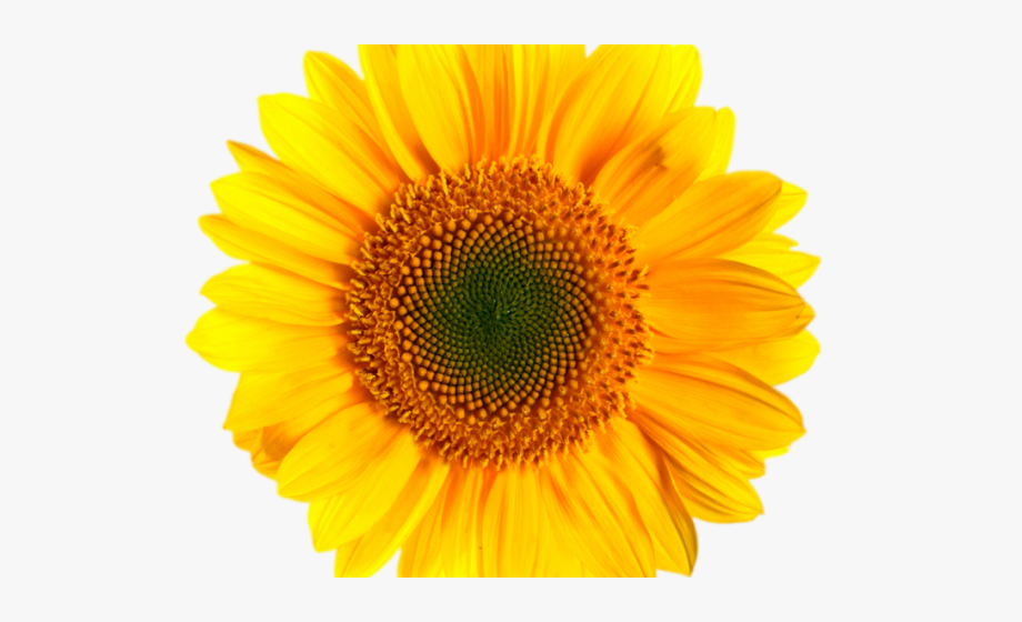 Sunflowers Clipart.
