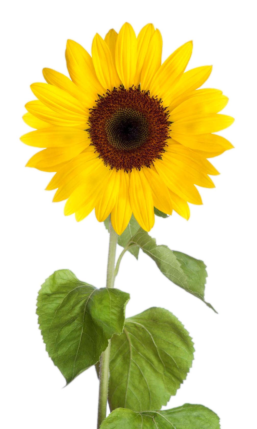 Free download Sunflower clipart images with transparent.