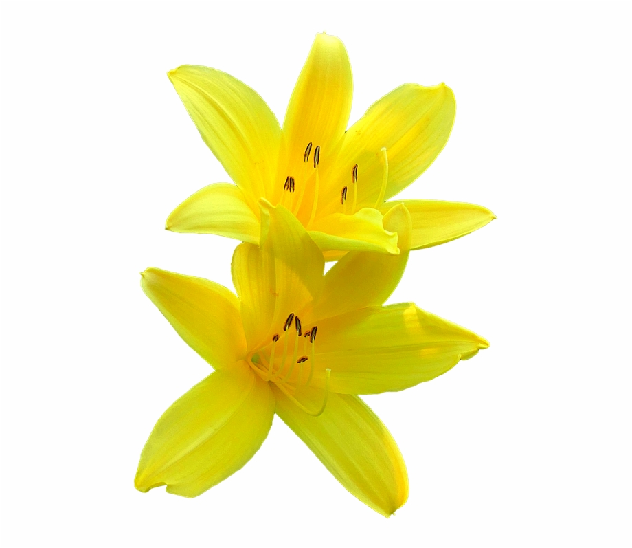 Bunga Lily Png Yellow Lily Transparent Background.