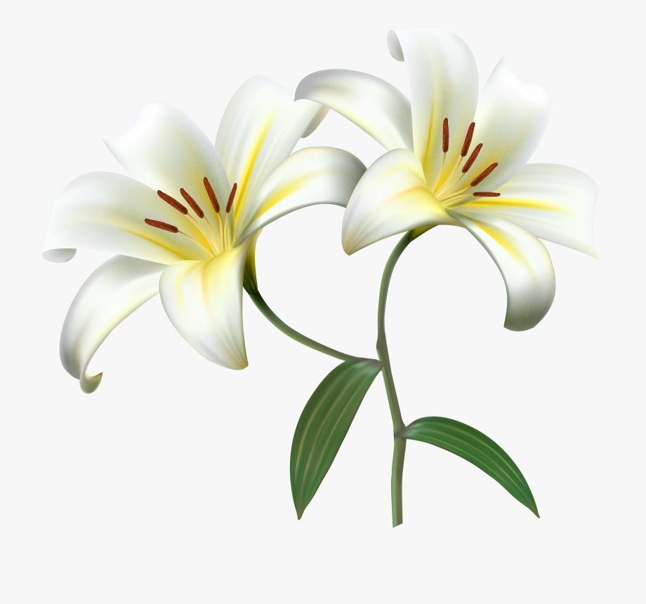 Drawing Lilies Realistic.