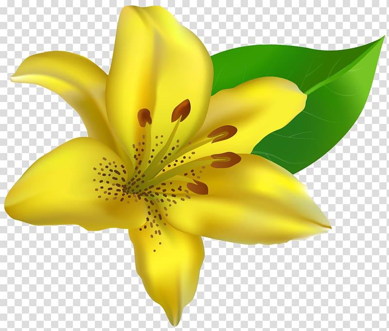 Yellow lily flower illustration, Lilium , Yellow Lilium.