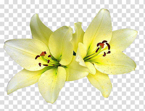 Flowers, yellow flowers transparent background PNG clipart.