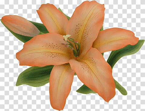 Orange and green lily flower transparent background PNG.