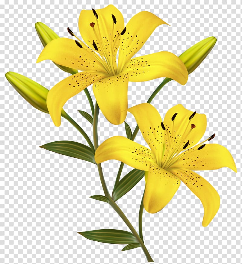 Lily Family transparent background PNG cliparts free.
