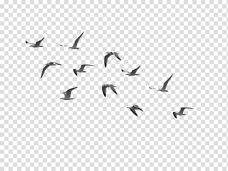Gray flying birds, Bird Flight Flock, birds transparent.