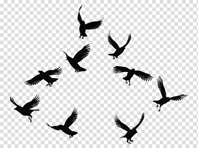 Crows Mega , flock of bird transparent background PNG.