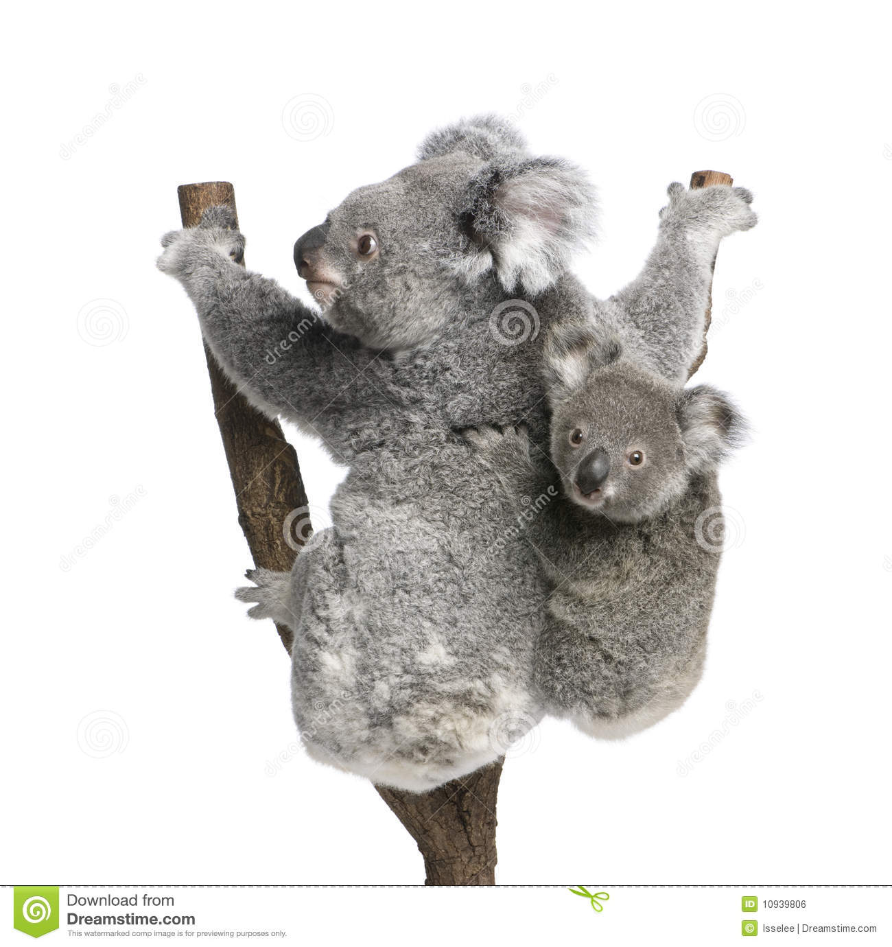 Koala Bears Climbing Tree Against White Background Royalty Free.