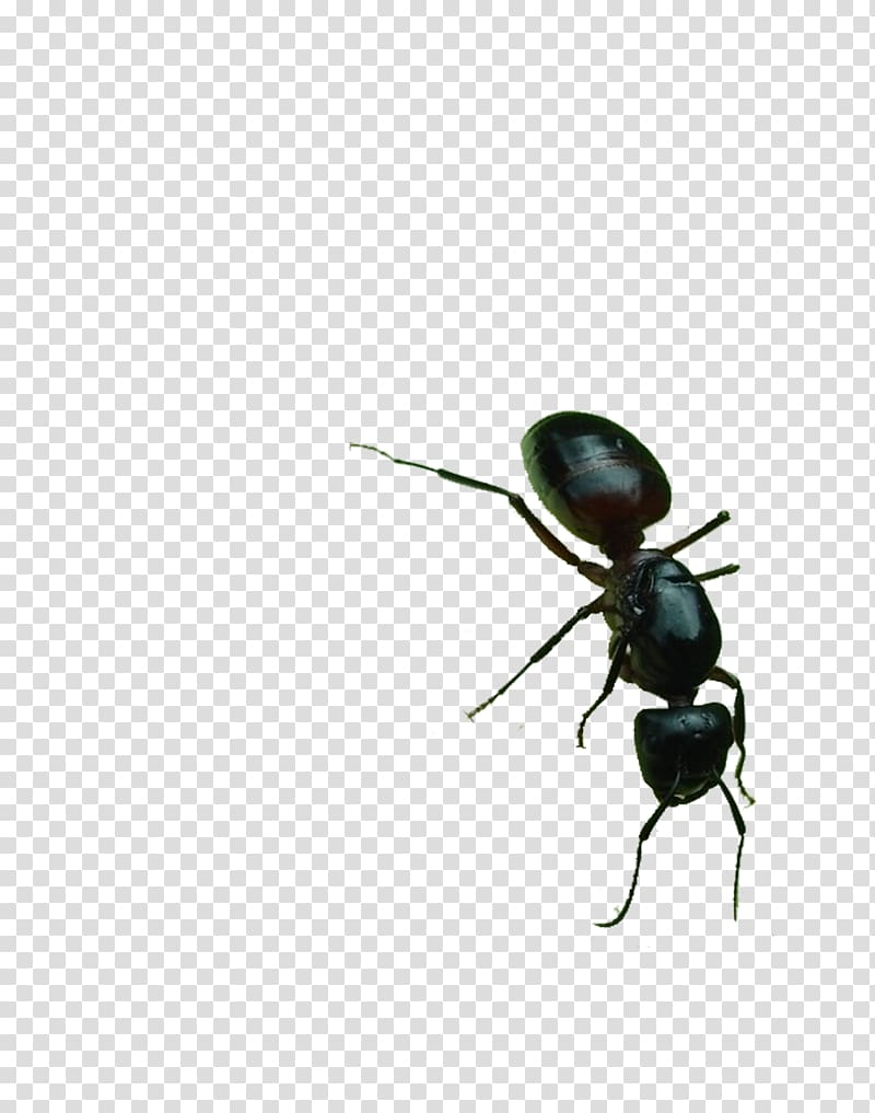 Black garden ant , Big black ants transparent background PNG.