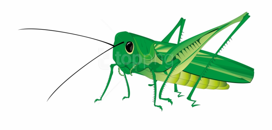Grasshopper Png Transparent Background Grasshopper Clipart.