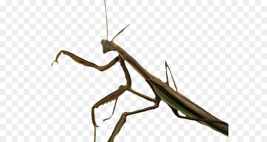 Mantis Insect Clip art.