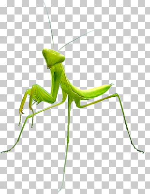 58 praying Mantis PNG cliparts for free download.
