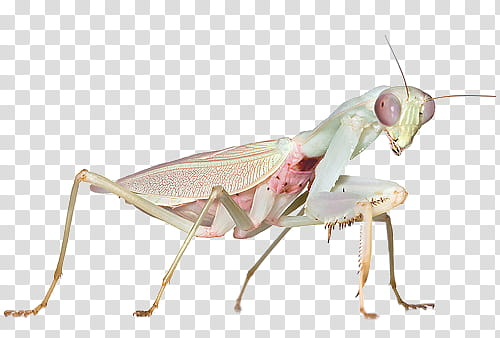 White and green paying mantis transparent background PNG.