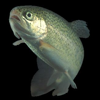 File:Rainbow trout transparent.png.